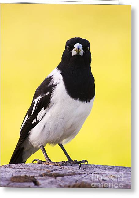 Mr. Magpie Greeting Card