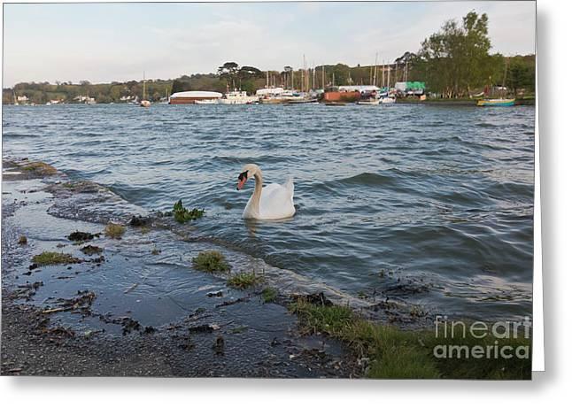 Mr Mylor Swan Greeting Card by Terri Waters