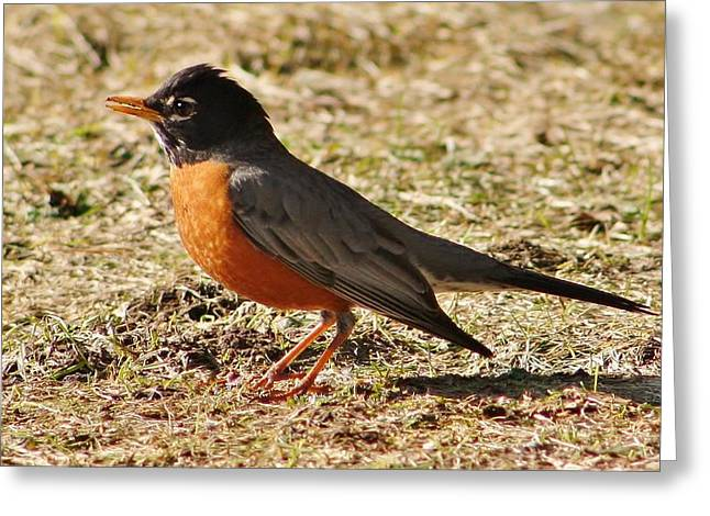 Greeting Card featuring the photograph Mr. Spring Robin by Al Fritz