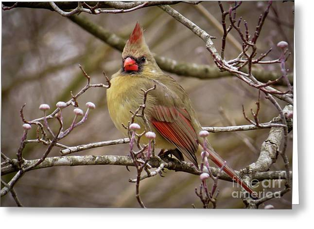 Greeting Card featuring the photograph Mrs Cardinal by Douglas Stucky