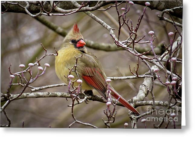 Greeting Card featuring the photograph Mrs Cardinal II by Douglas Stucky