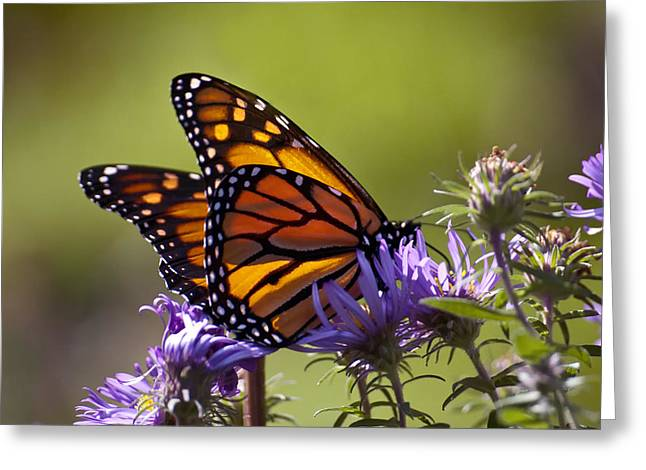 Ms. Monarch Greeting Card by Ross Powell