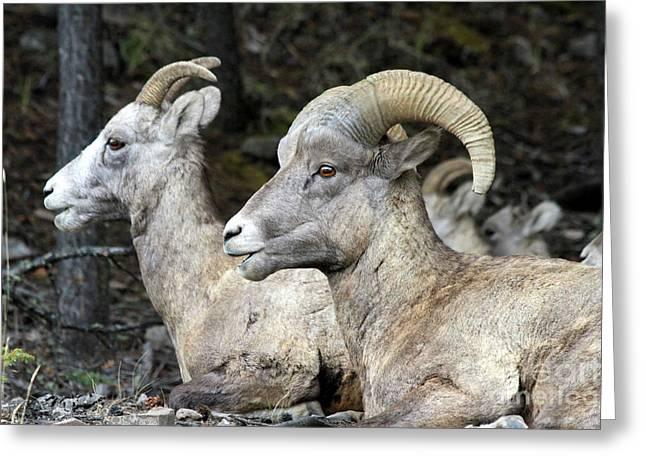Mt Sheep  Greeting Card