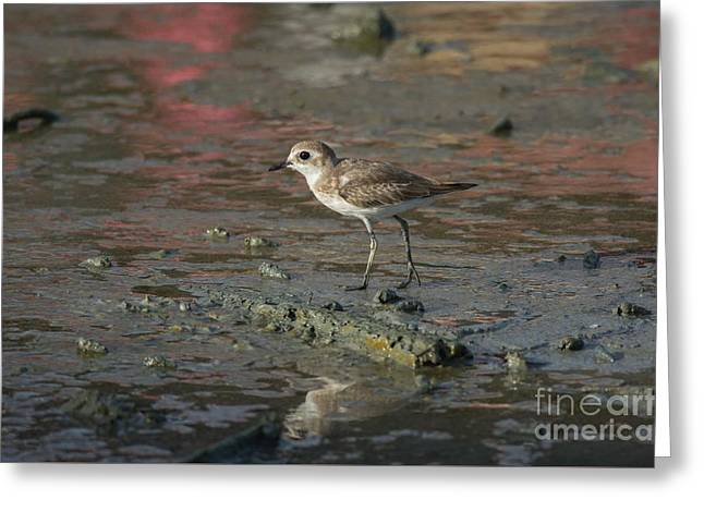 Mud Plover Light Greeting Card