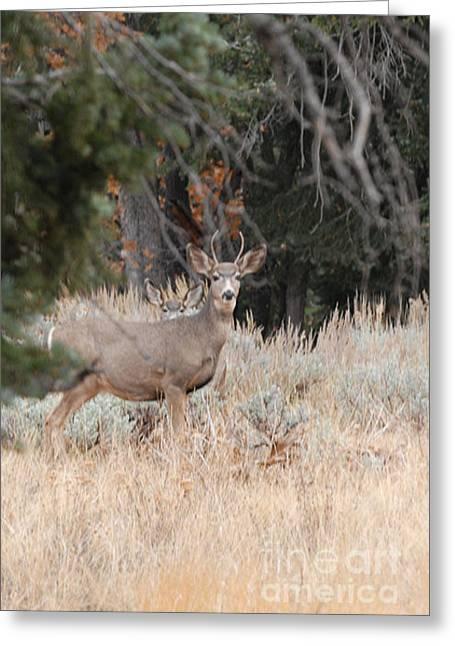 Mule Deer Buck Greeting Card by Dennis Hammer