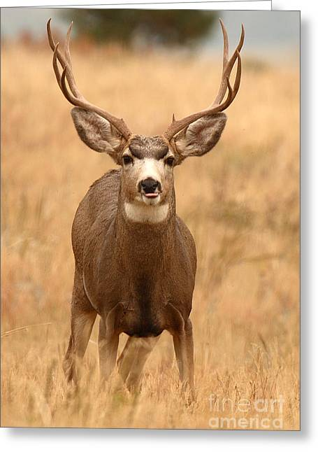 Mule Deer Buck Showing His Thoughts Greeting Card by Max Allen