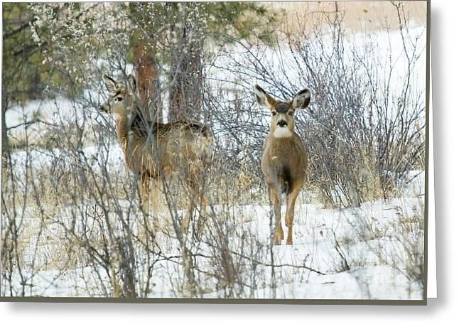 Mule Deer Does In Snow Greeting Card