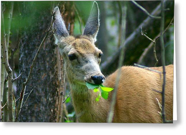 Mule Deer Eating Aspen Leaves Greeting Card