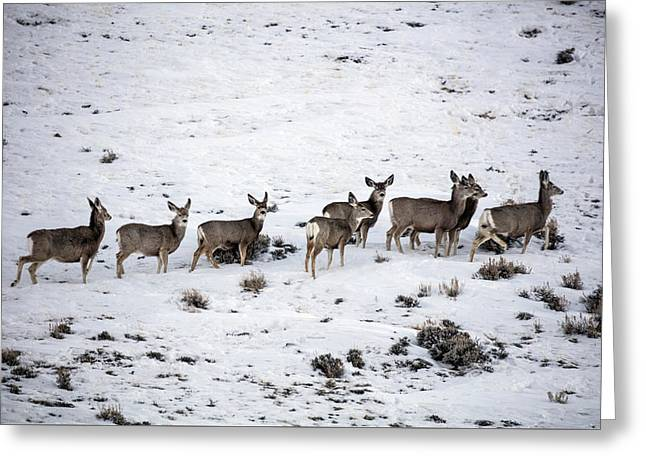 Muledeer Gather On A Snowy Hillside In Sweetwater County In Wyoming Greeting Card