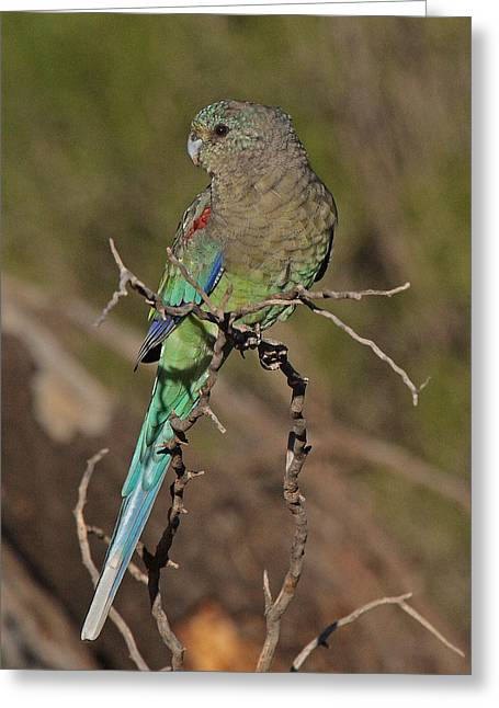 Mulga Parrot Female Greeting Card