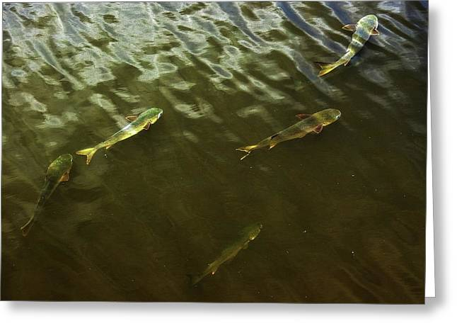 Mullet Fish Greeting Card by Jeff Townsend
