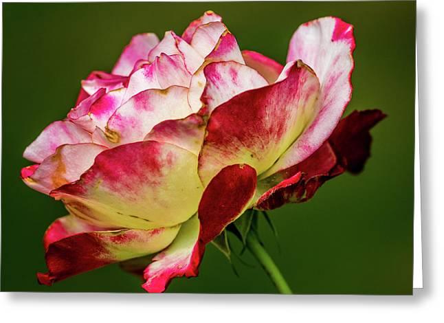 Multi-colored Rose Greeting Card