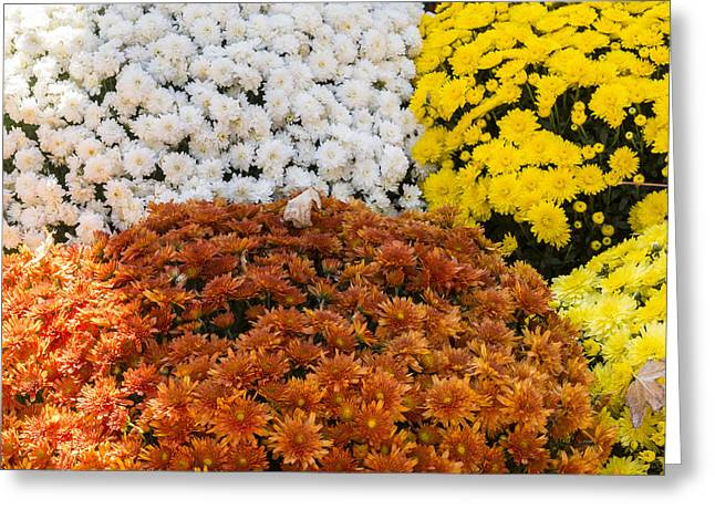 Mums - Farmers Market - Madison -wisconsin Greeting Card
