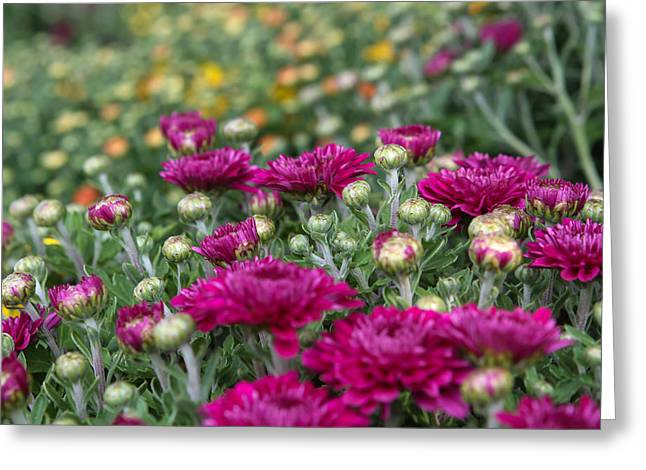 Mums Greeting Card by Lori Parsells
