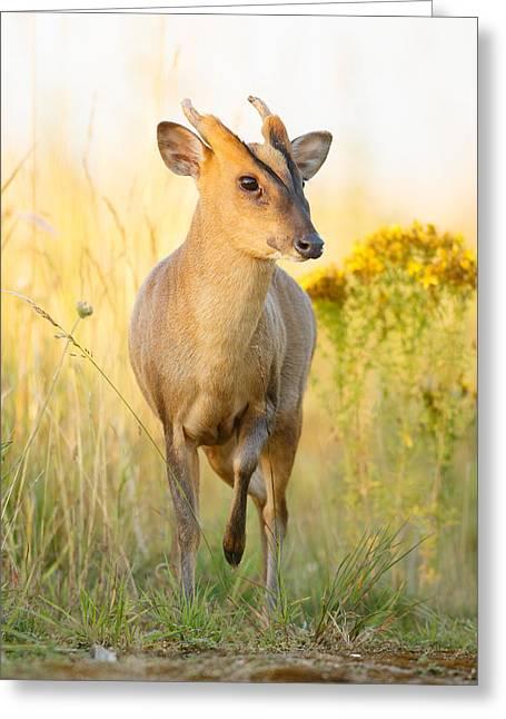 Muntjac Deer Greeting Card