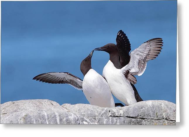 Murre Love Greeting Card by Bruce J Robinson