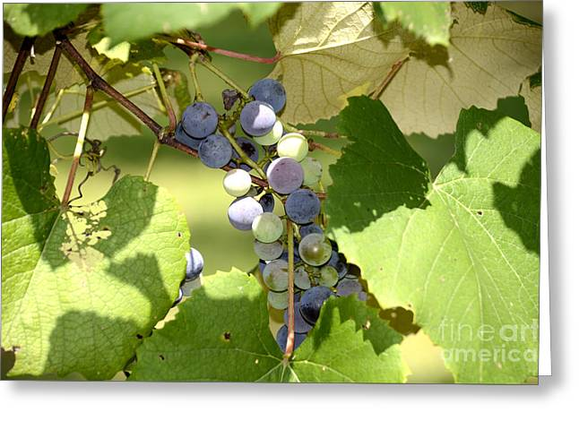 Muscadine Grapes Greeting Card