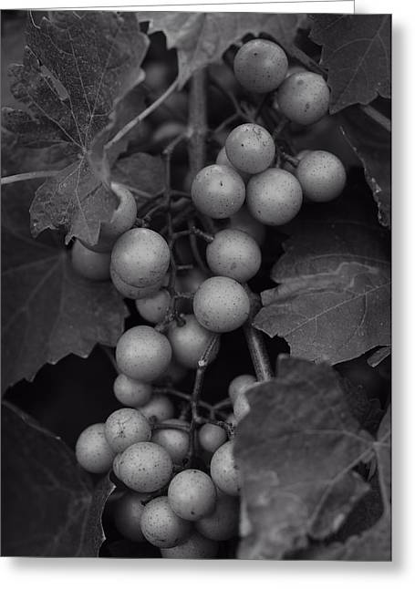 Muscadine Grapes In Black And White Greeting Card by Matt Plyler
