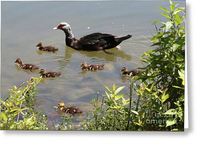 Muscovy Duck Family Greeting Card