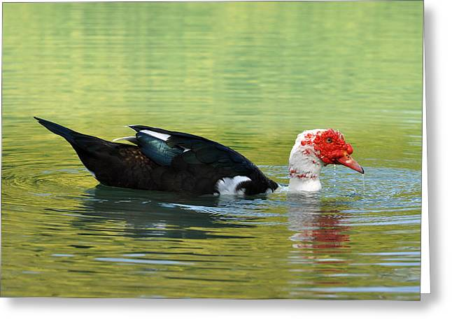 Muscovy Red Greeting Card by Teresa Blanton