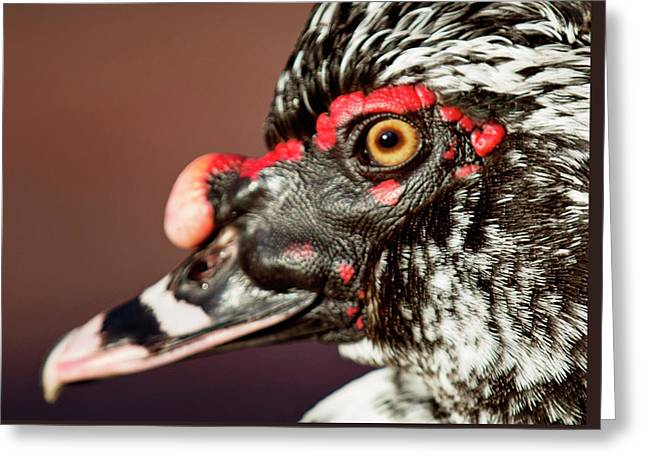 Greeting Card featuring the photograph Muscovy by Sue Collura