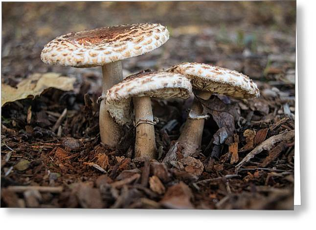 Greeting Card featuring the photograph Mushroom Trio Macrolepiota Procera by Frank Wilson