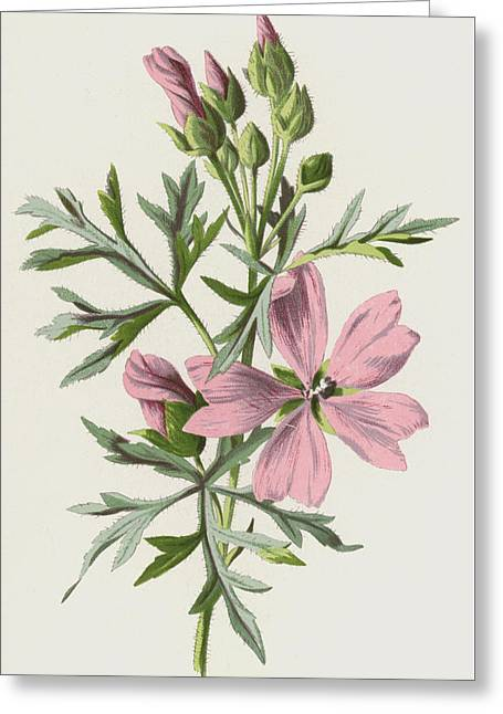 Musk Mallow Greeting Card
