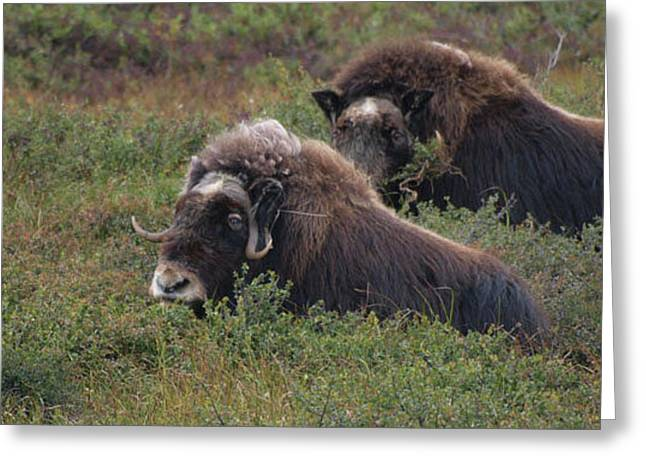 Musk Ox Greeting Card by Adam Owen