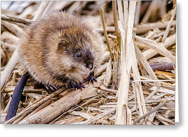 Muskrat Ball Greeting Card
