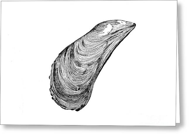 Mussel Shell Greeting Card by Jeff Greiner