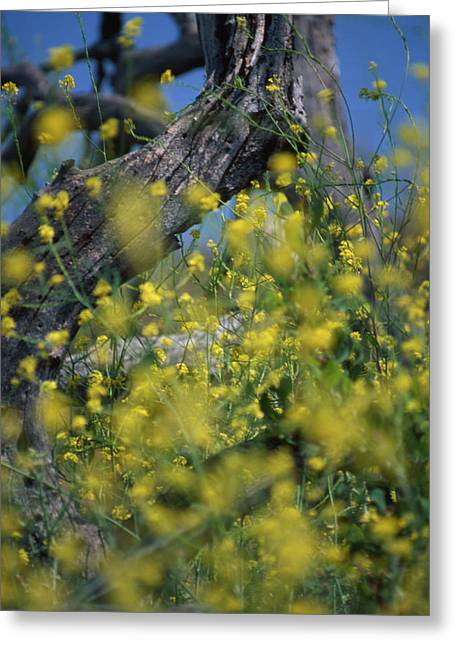 Mustard - Camarillo Hills Greeting Card by Soli Deo Gloria Wilderness And Wildlife Photography