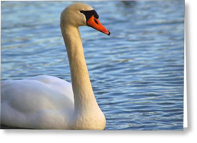 Mute Swan 3 Greeting Card by Mark Platt