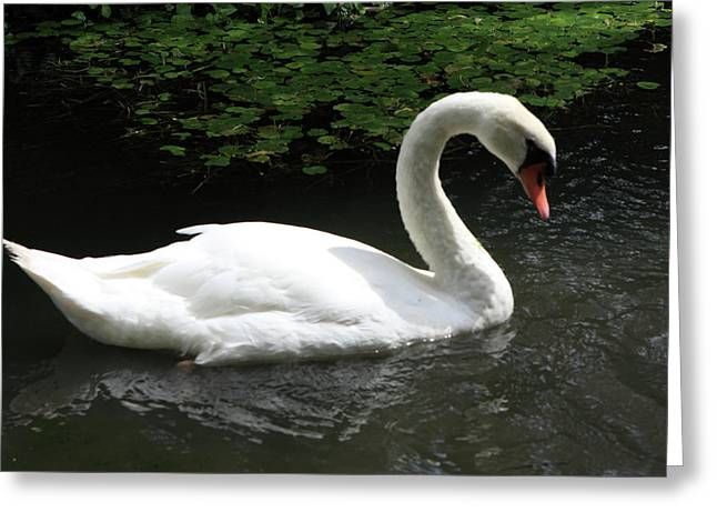 Mute Swan Greeting Card by Aidan Moran