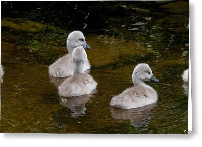 Mute Swan Babes Greeting Card