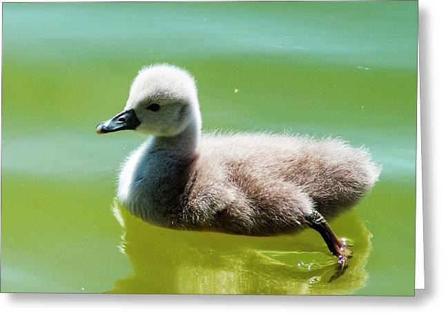 Mute Swan Cygnet Greeting Card