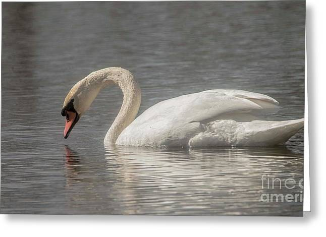 Greeting Card featuring the photograph Mute Swan by David Bearden