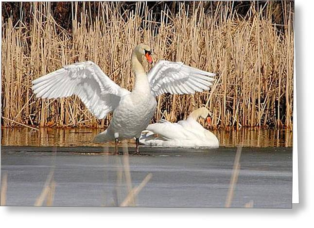 Greeting Card featuring the photograph Spring Arrival Swans by Debbie Stahre
