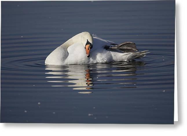 Mute Swan Resting In Rippling Water Greeting Card