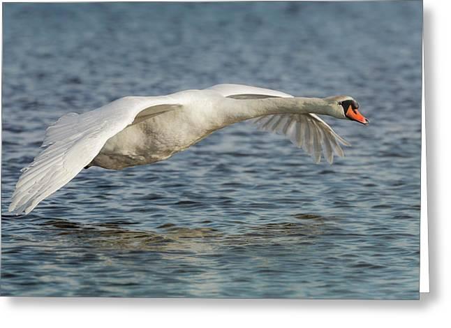Mute Swan Greeting Card by Roy McPeak