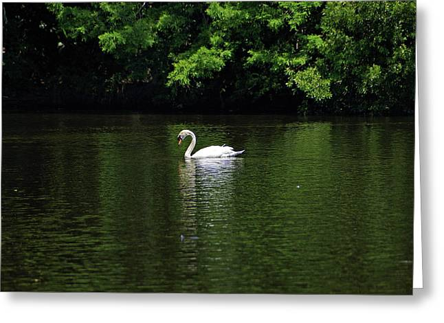 Greeting Card featuring the photograph Mute Swan by Sandy Keeton