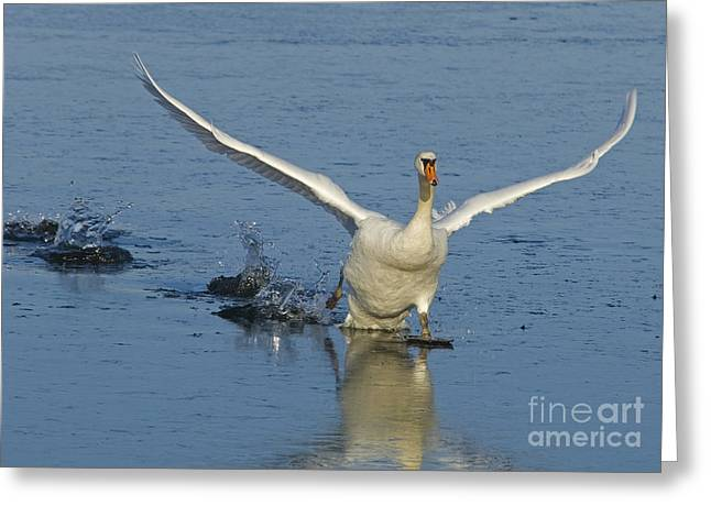 Mute Swan Greeting Card by Steen Drozd Lund