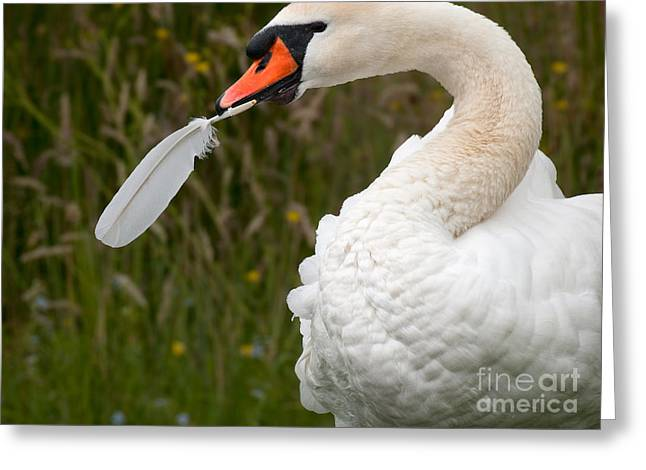 Mute Swan With Feather Greeting Card