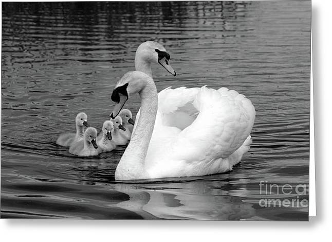 Mute Swans Greeting Card