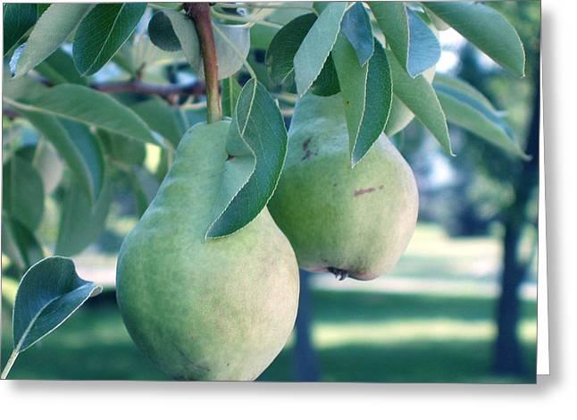 My Brothers Pear Tree Greeting Card by Wayne Potrafka
