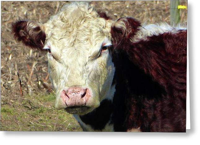 My Favorite Cow Greeting Card by Tina M Wenger