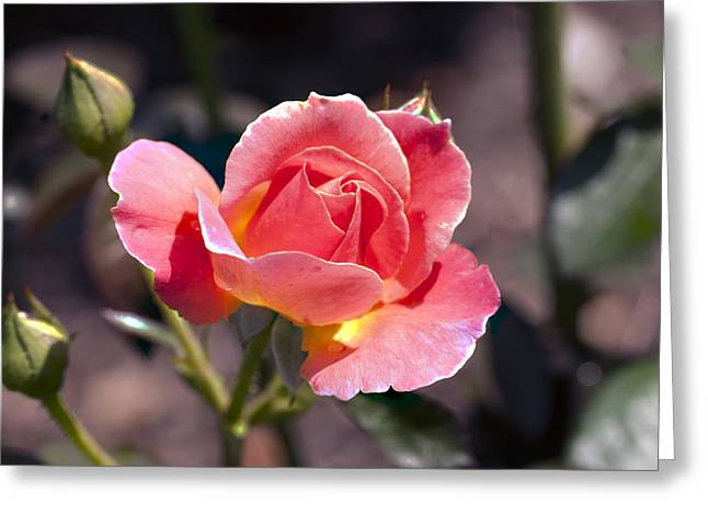 My Rose Greeting Card by Don  Wright