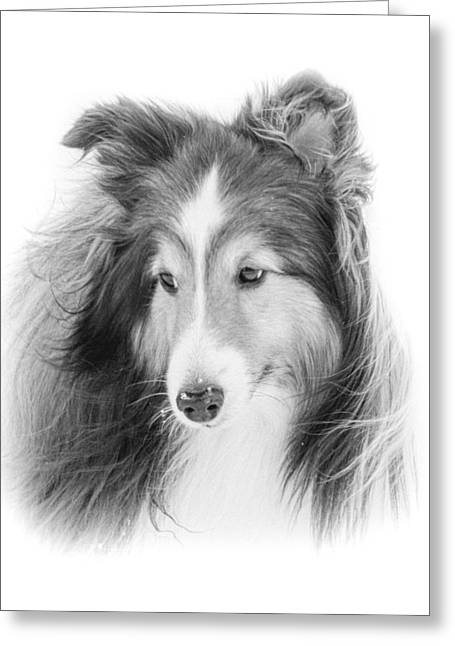 My Sweet Sheltie Greeting Card