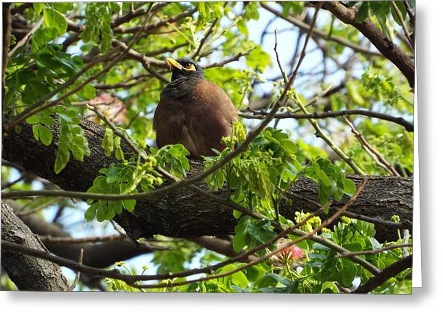 Myna In The Monkeypod Greeting Card