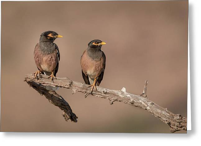 Myna Pair Greeting Card