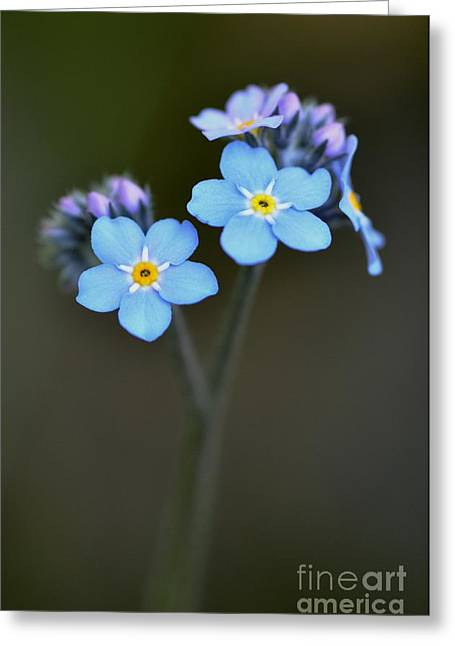 Myosotis Greeting Card by Sylvie Leandre